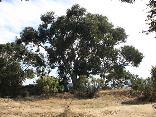Eucalyptus globulus?