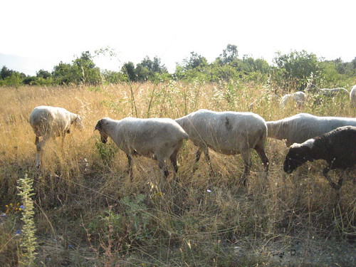 Umbrian sheep