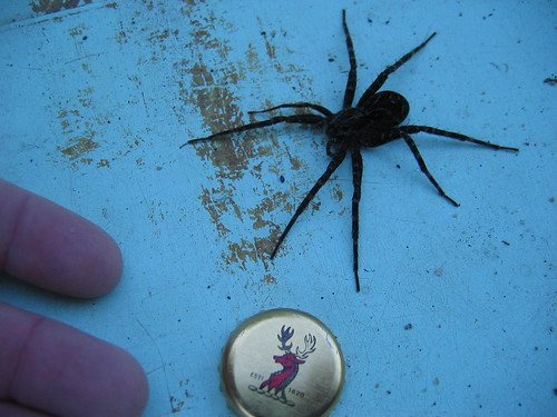 Huge dock spider