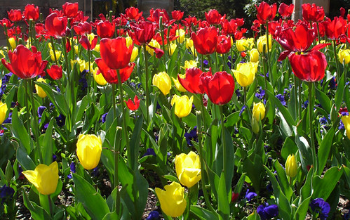 tulips in the gardens