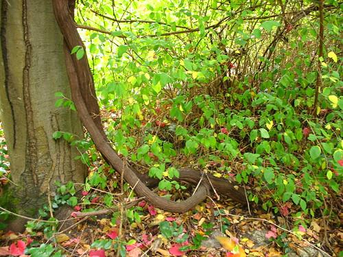 Vitis trunk