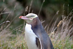 Yellow-eyed penguin close-up