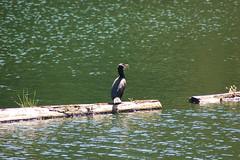 d-c cormorant