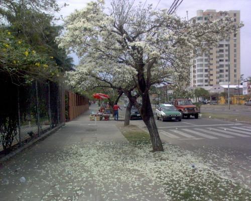 Tajibo en flor