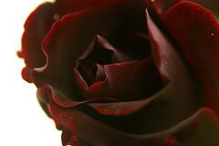 バラ・黒真珠
