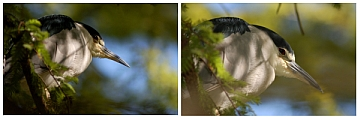 Heron images, by Charles aka Warru with the Nikon D50 and Nikkor 180mm f/2.8 lens