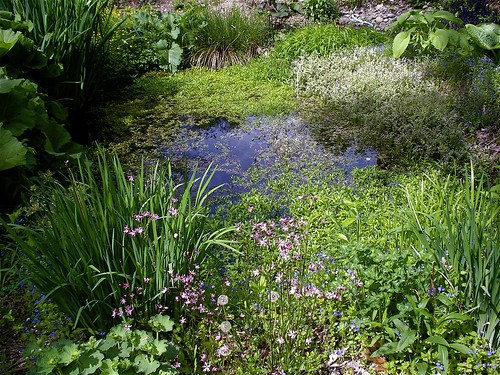 Pond with ragged robin