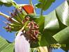 Flor de bananeira