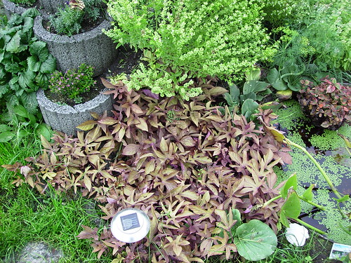 Süßkartoffelpflanze Nr. 2