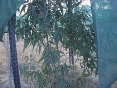 lemongum tree closeup inside.jpg