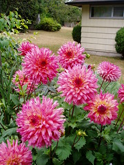 Unknown Dahlias