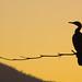 Biguá [Cormorant]