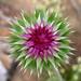 Scotch Thistle Flower Bud