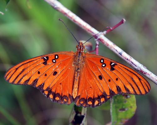 buterfly - 0113