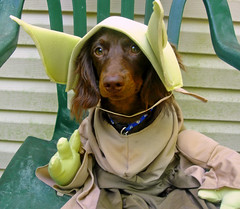 "This particular ""yoda""  $9.99 costume is worth ...... photo by Doxieone"