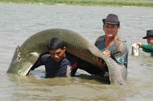Pesca do pirarucu (Santarém - PA)