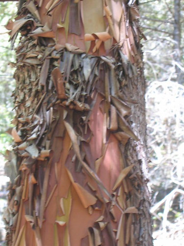 Super Peely Madrone