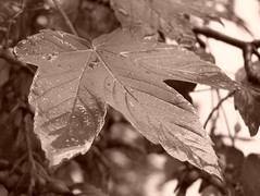 Maple leaf - Sepia