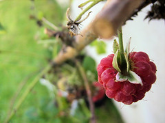 Framboise // Raspberry