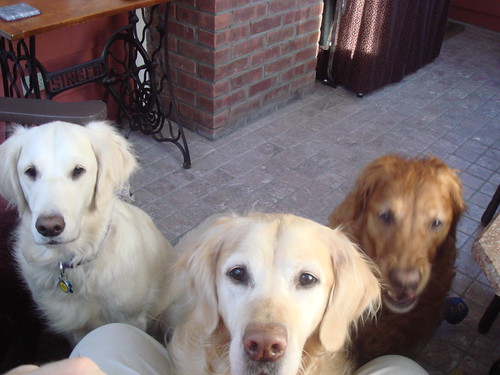 Pack of Goldens