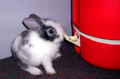 Thai Bunny