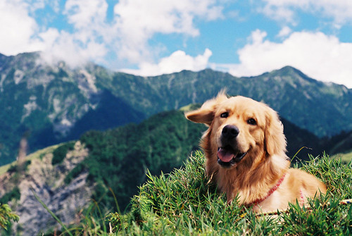 golden retriever wallpapers for desktop. Wallpaper of a dog