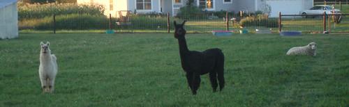 Freshly Shorn Llama