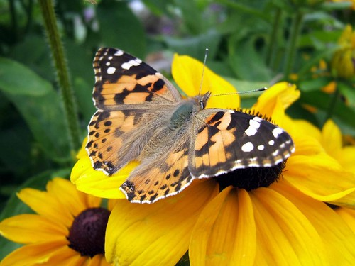 Painted Lady on Toto