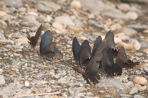 16131 一群吸水的黑鳳蝶