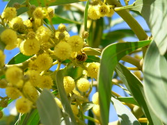 Wattle flower with bee feeding