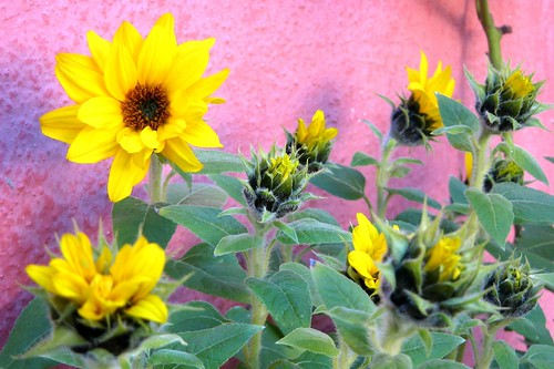 Mini sunflowers III