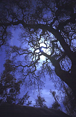 full-moon-oak