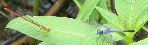 Dragonfly standoff