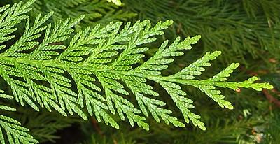 cedar branching pattern