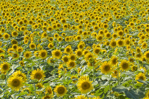 sunflower field#1