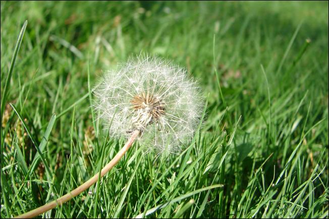 dandelion-small