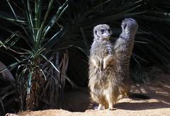 9/8/06: Meerkats II