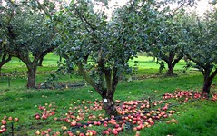 wisley orchard