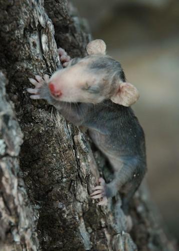 babypossum2