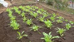 今週の市民農園:はりはり水菜の間引き後