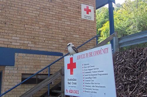 Kookaburra at Henry Wheeler Place Gosford