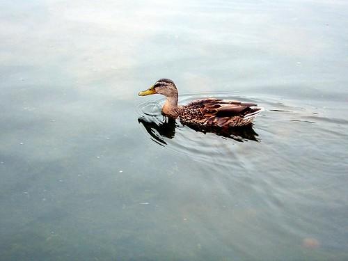 A Duck by Dan Foy / orangeacid