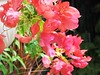 Bougainvillea 'Orange Ice' - an orange species with variegated leaves