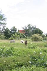Cows in Sukhothai