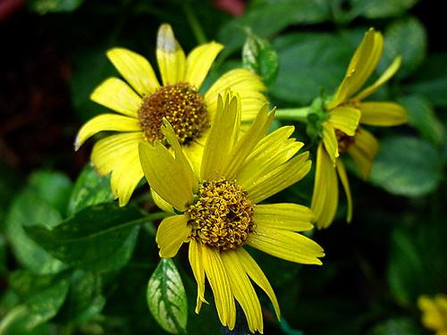 Heliopsis 'Lorraine Sunshine'