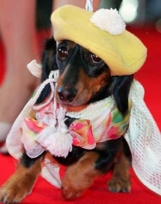 dachshund fashion
