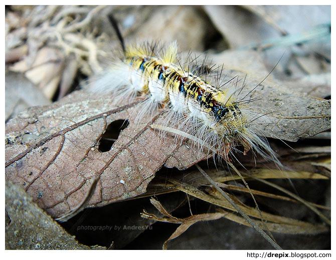 maomao worm
