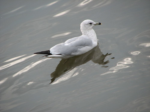 Reflection of a Gull
