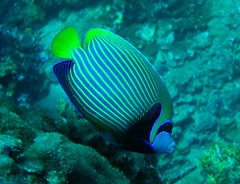 Emperor Angelfish Indian Ocean Version