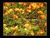 Orange Blooms on a Bush